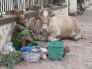 Kühe auf der Strasse